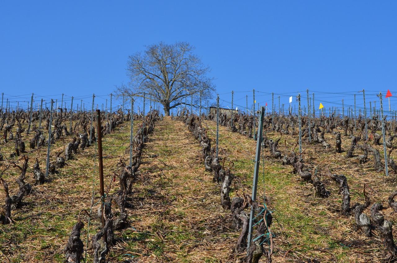 Vigne Chardonnay Bout du monde clos des pins hiver