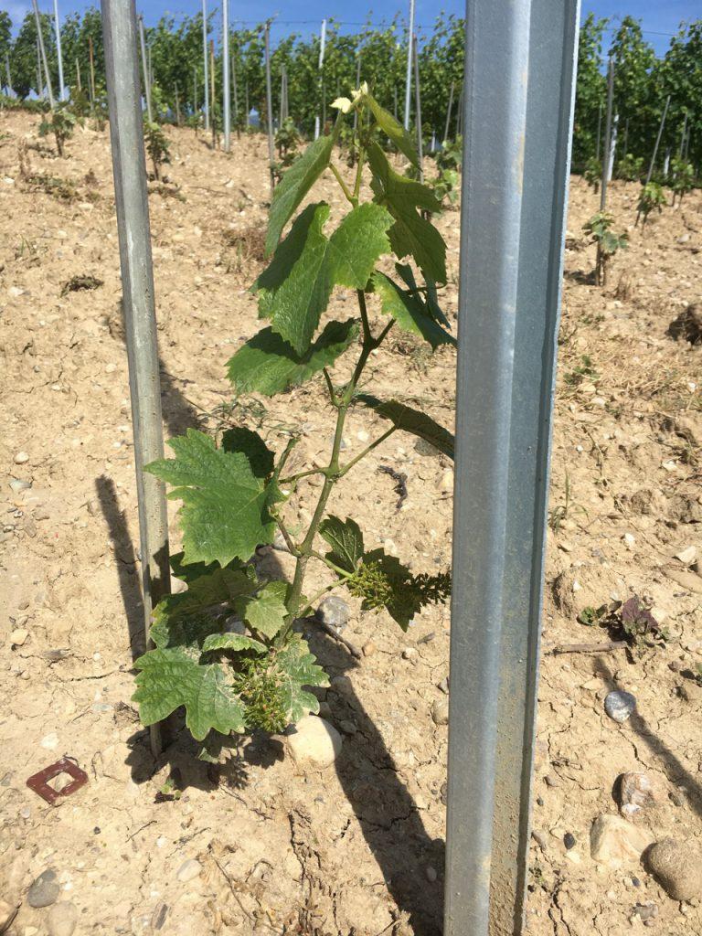 plant de vigne clos de spins dardagny